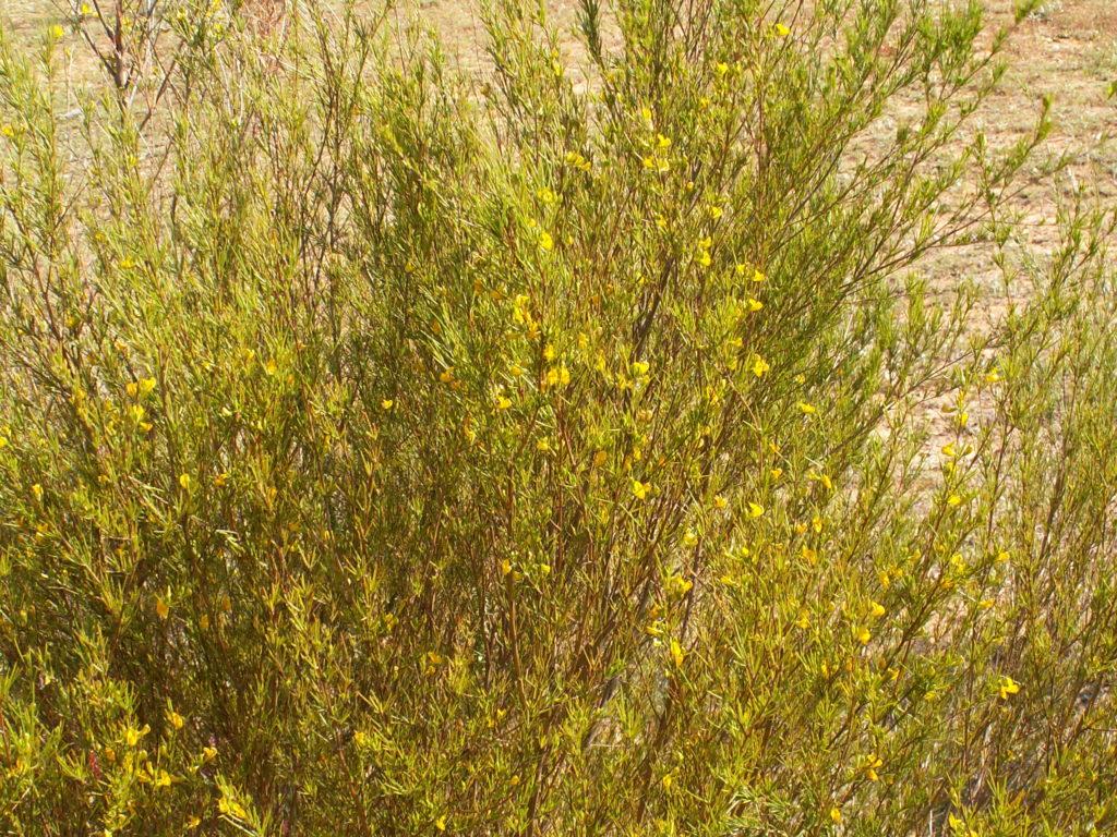 Arbusto de Aspalathus linearis